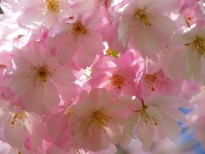 japanese-cherry